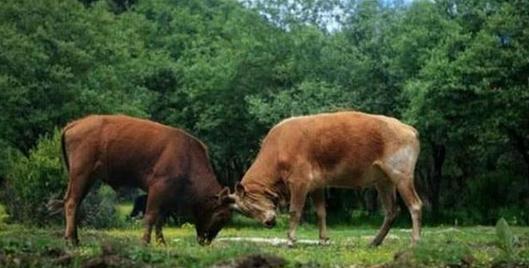 曹丕看见两牛打架,令曹植即兴作诗,不能有牛字,结果流传千年
